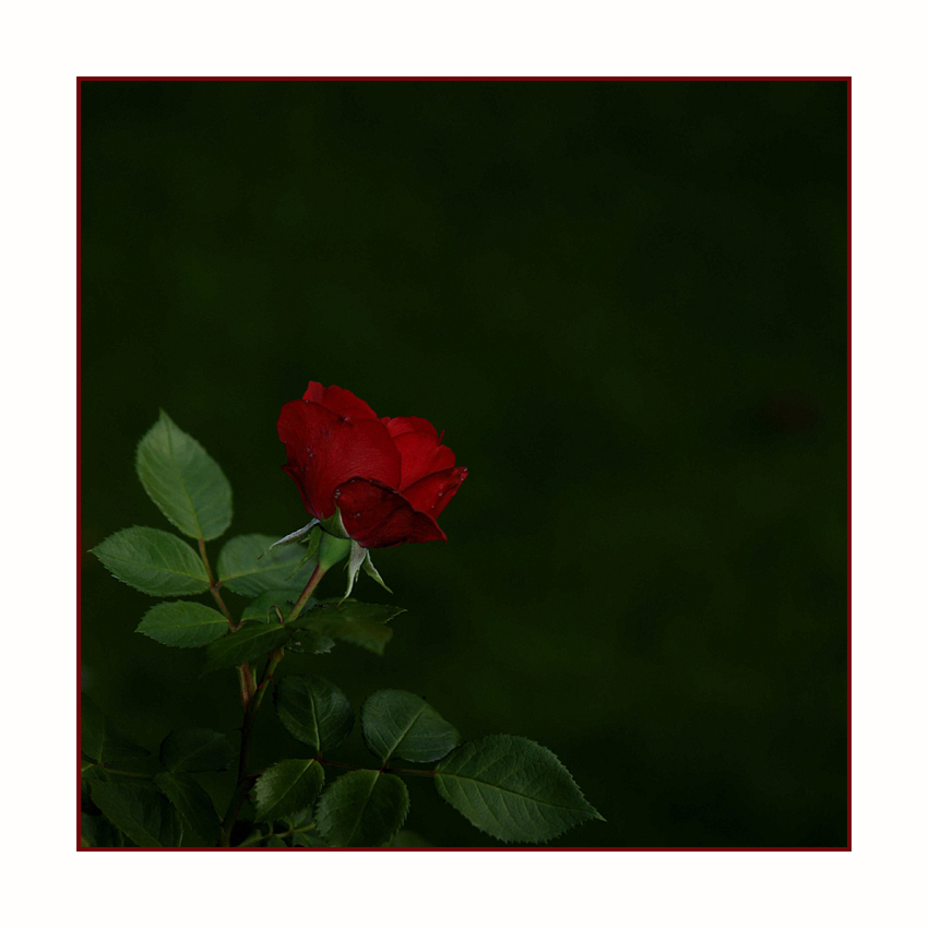 Du wolle Rose kaufen ... ?