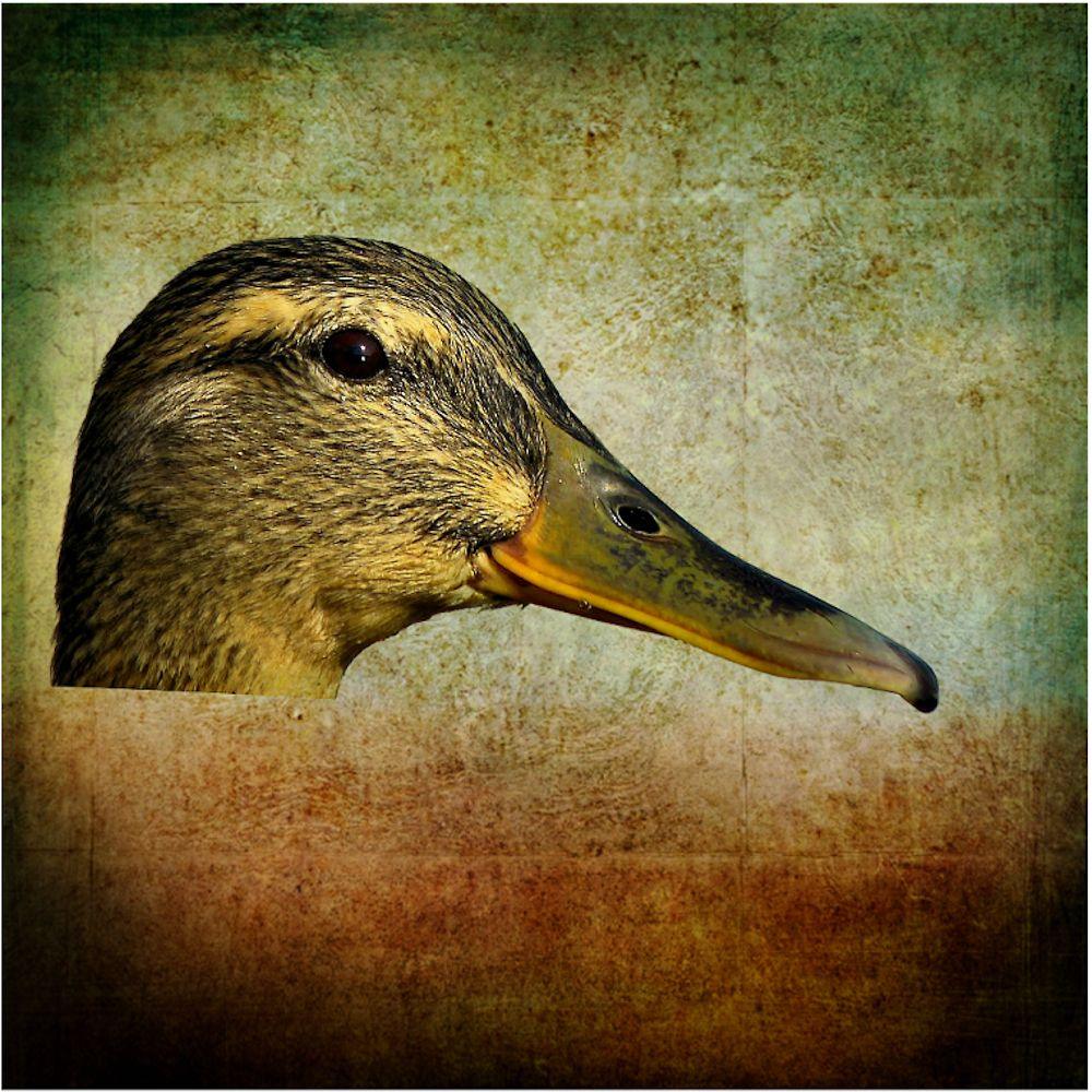... duck