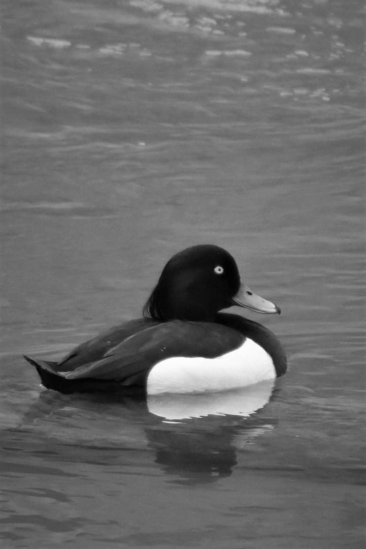 Duck Black White