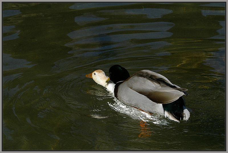 Duck duckt Duck