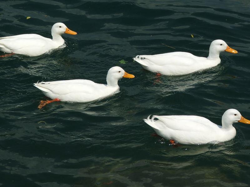 Duck family, Zurich, Switzerland, 2007