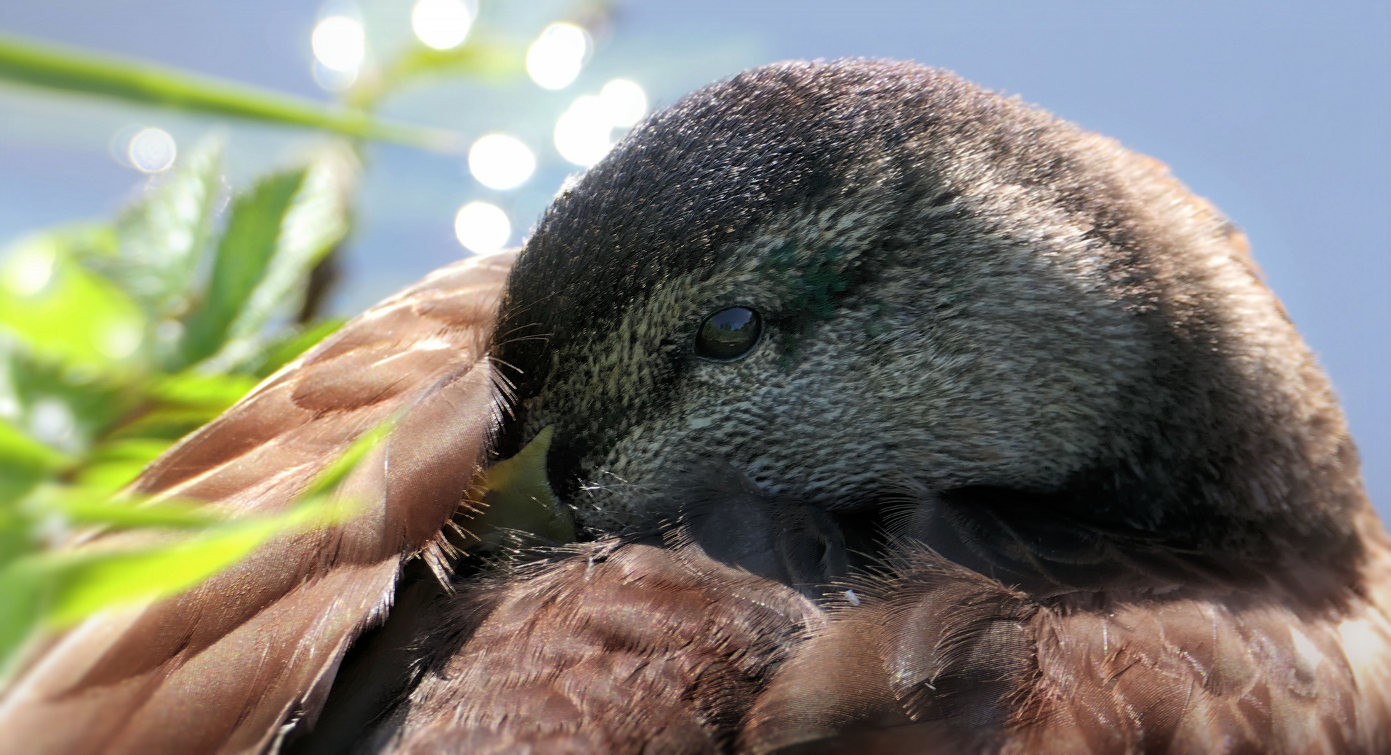 ... duck hide beak