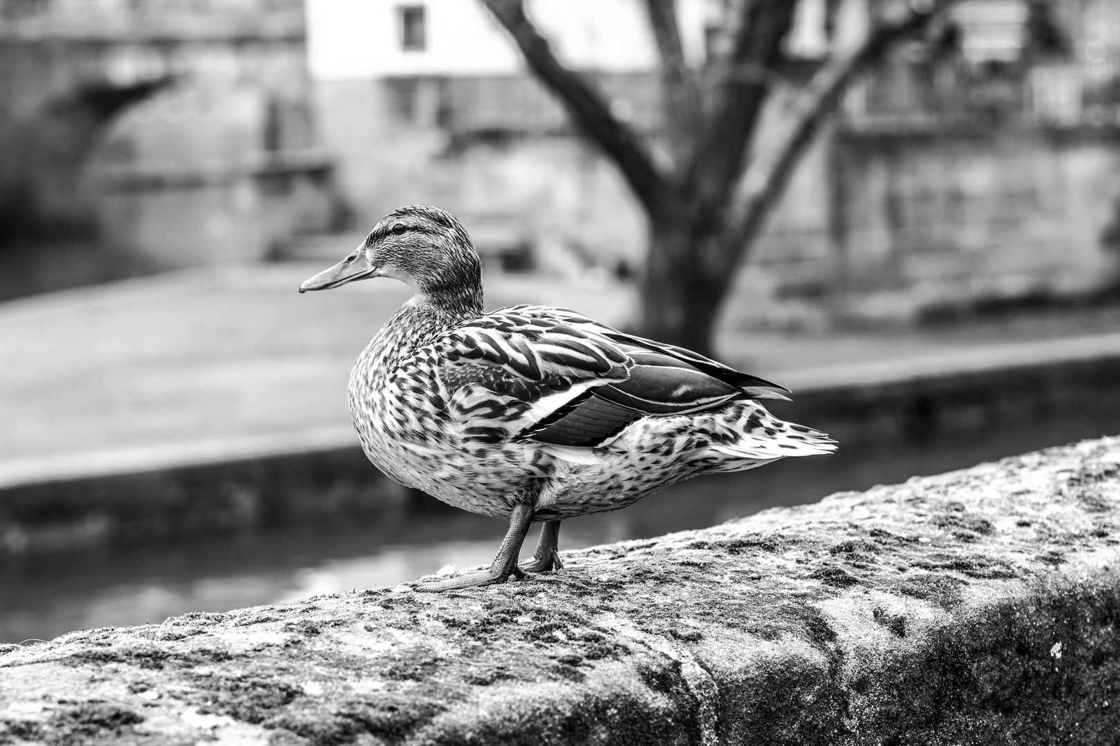 Duck in the City