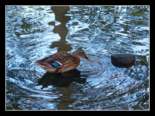 Duck walks on the water