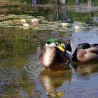 Ducks of Golcuk Lake