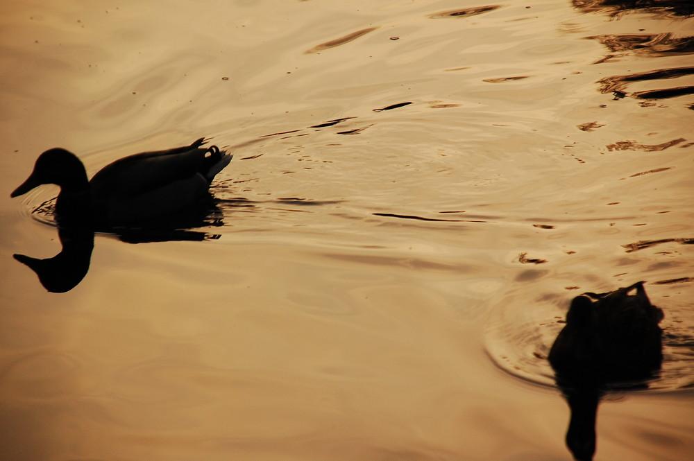 Ducks on water in Ballachulish slate quarry, Argyll, Scotland