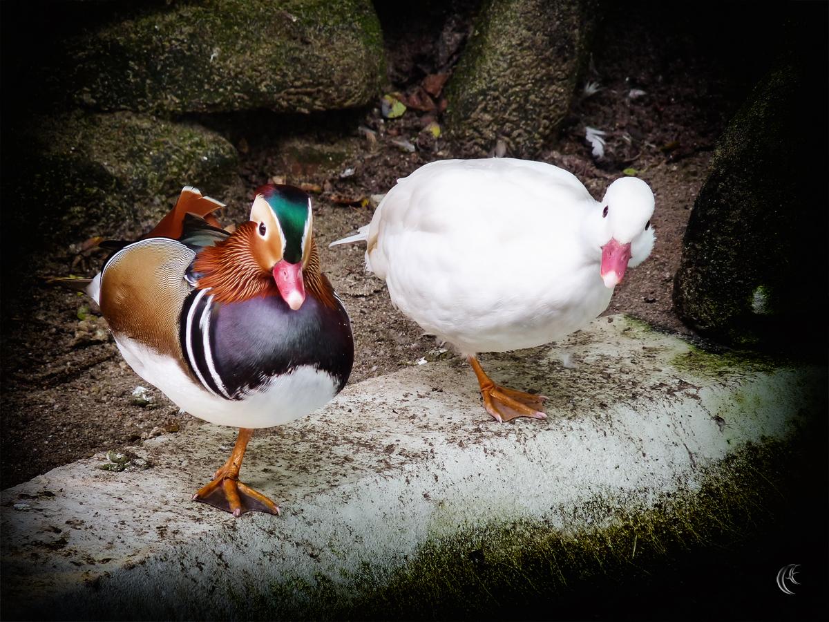 Ducks or Twins?