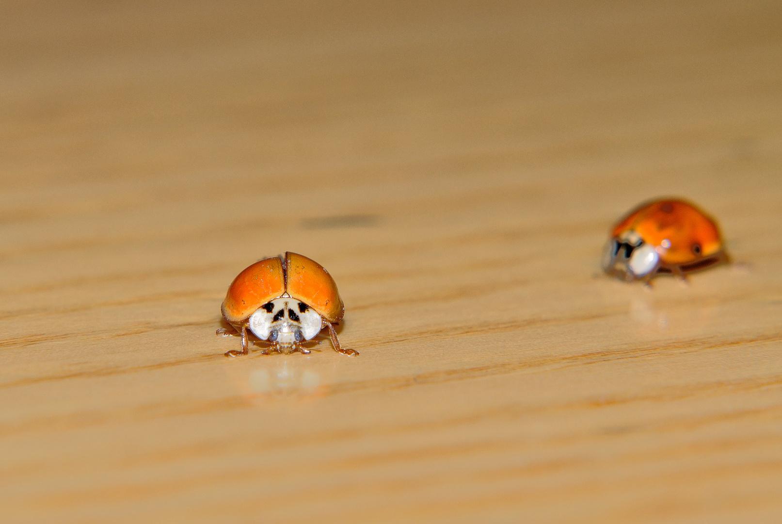 Due piccole Coccinelle