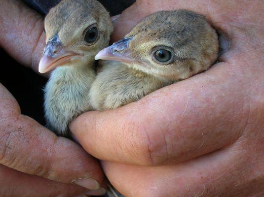 due-piccoli-pavoni