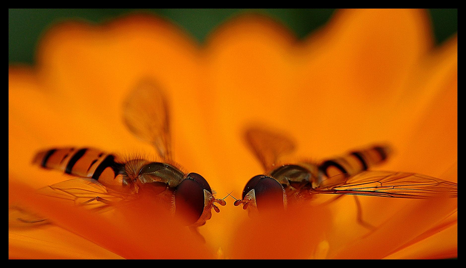 Duell der Säbel - Schwebfliegen