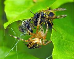 Duell Spinne - Wespe