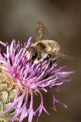 Dünen-Blattschneiderbiene - Megachile maritima - Männchen