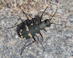 Dünen-Sandlaufkäfer (Cicindela hybrida) - La Cicindèle hybride.