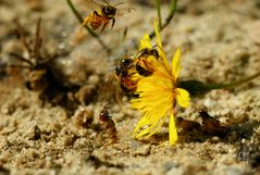 Dünen-Sandlaufkäfer: Larve, Fangsprung erfolglos ...