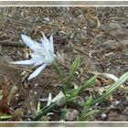 Dünen-Trichternarzisse oder auch Strandlilie