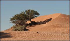 Dünenbaum