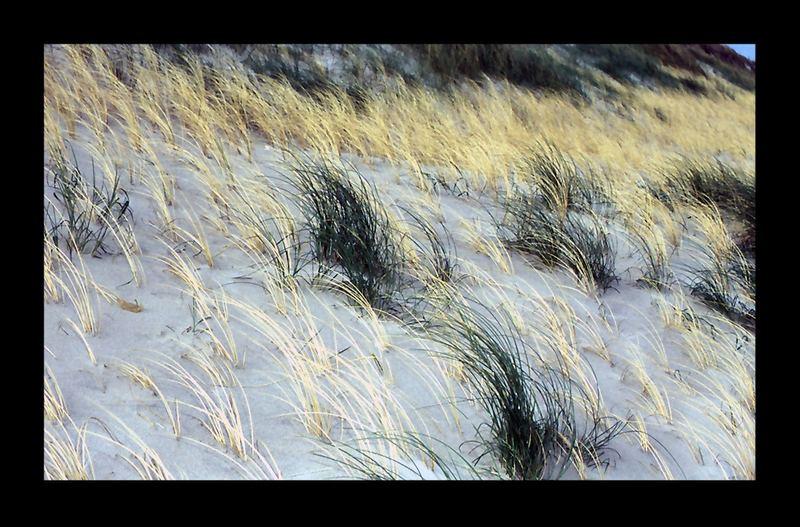 Dünengräser