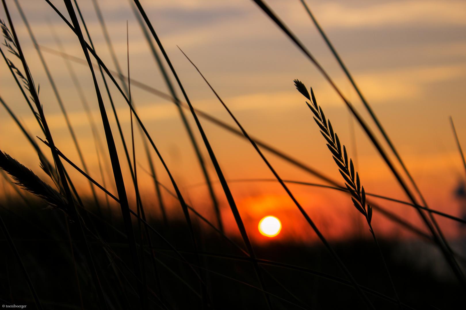 Dünengräser im Sonnenuntergang (Norderney)