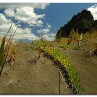 Dünenpflanzen von NZ