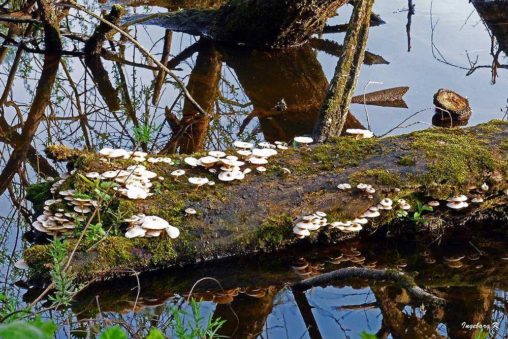 Düsseldorf - Urdenbacher Kämpe - Pilze auf dem Baumstamm