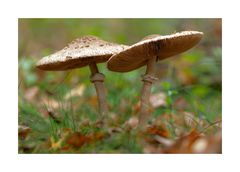 Duett der Pilze ..