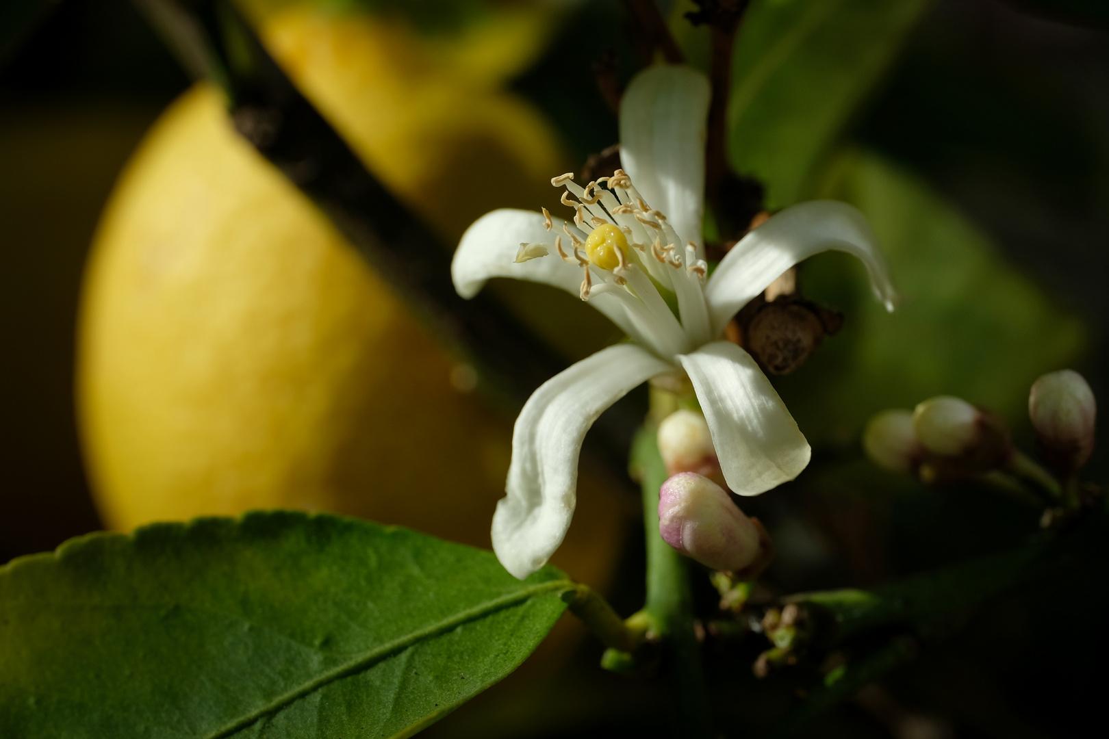 Duft der Zitronen