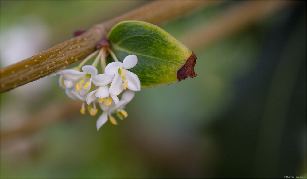 Duftblüte (Osmanthus armatus)...