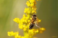 dufte Biene - 2