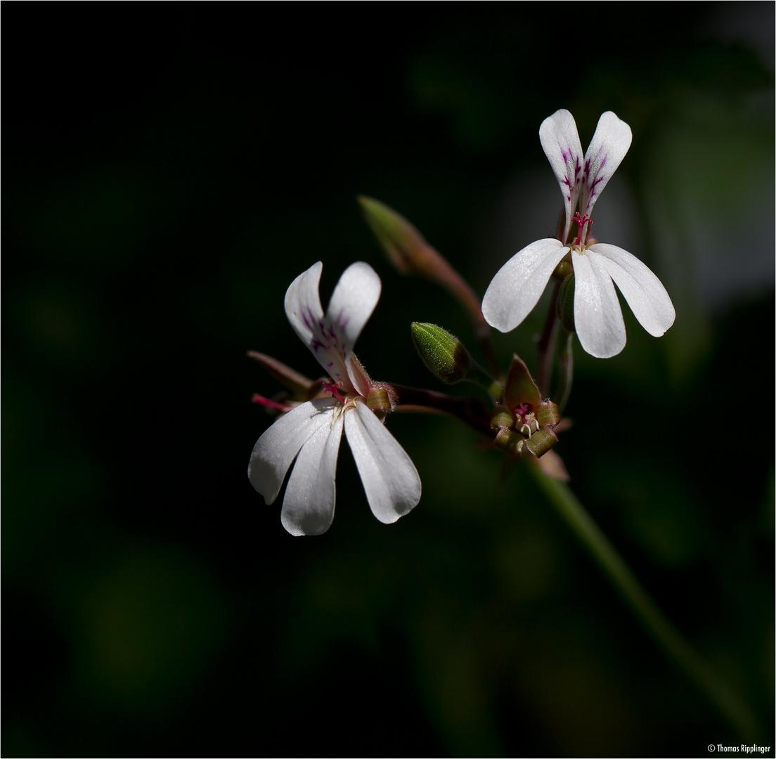 Duftpelargonie (Pelargonium fragans)