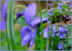 Duftveilchen (Viola riviniana)
