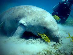 Dugong-hungrig