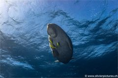 Dugong reloaded