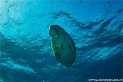 Dugong von unten