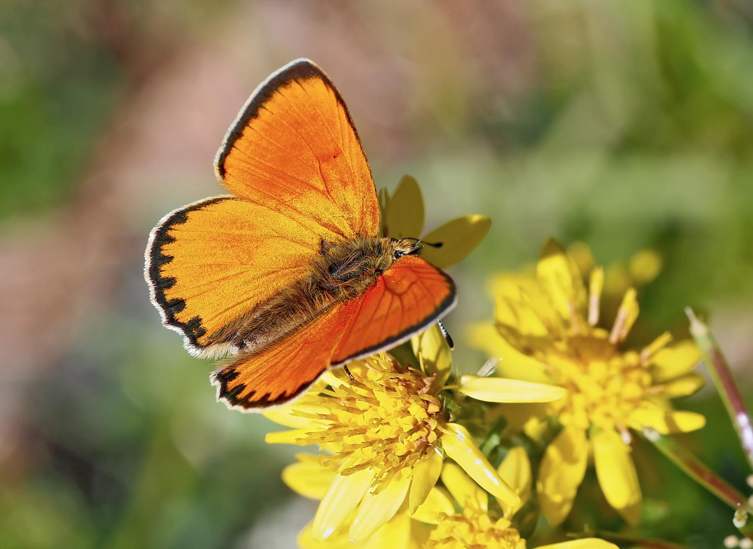 Dukaten-Feuerfalter, Männchen (Lycaena virgaurea) - Cuivré de la verge d'or, un mâle.