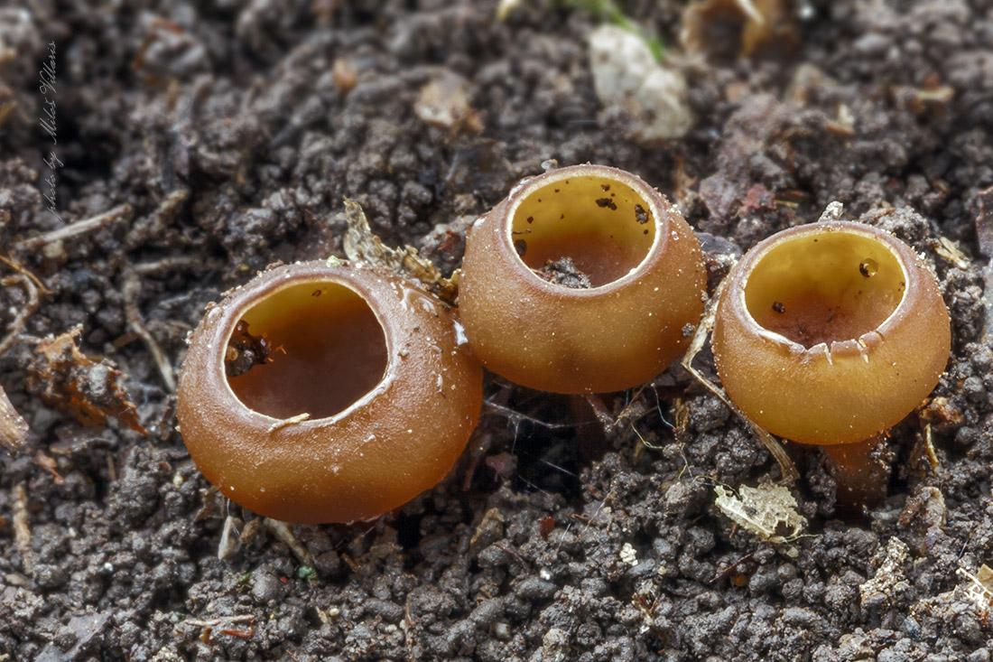 Dumontinia cf. tuberosa