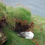 Duncansby Head Eissturmvogel