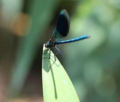 Dunkelblaue Flügel