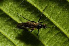 Dunkelfluegelige Haarmuecke, Dilophus febrilis (?)