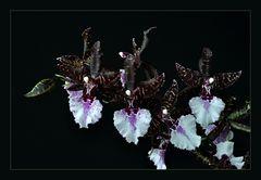 dunkle Orchidee vor schwarzem Grund