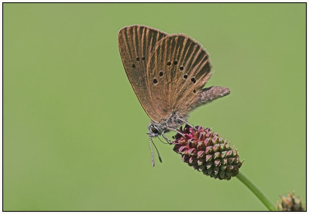 Dunkler Ameisenwiesenknopfbläuling (Maculinea Nausithous)