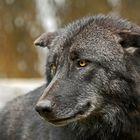 Dunkler Timberwolf