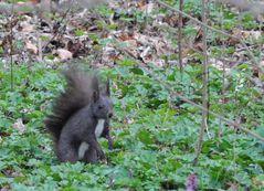 dunkles Eichhörnchen