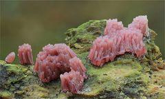 Dunkles Fadenkeulchen (Stemonitis fusca)