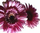 duoflower