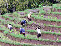 Dur labeur dans la rizière