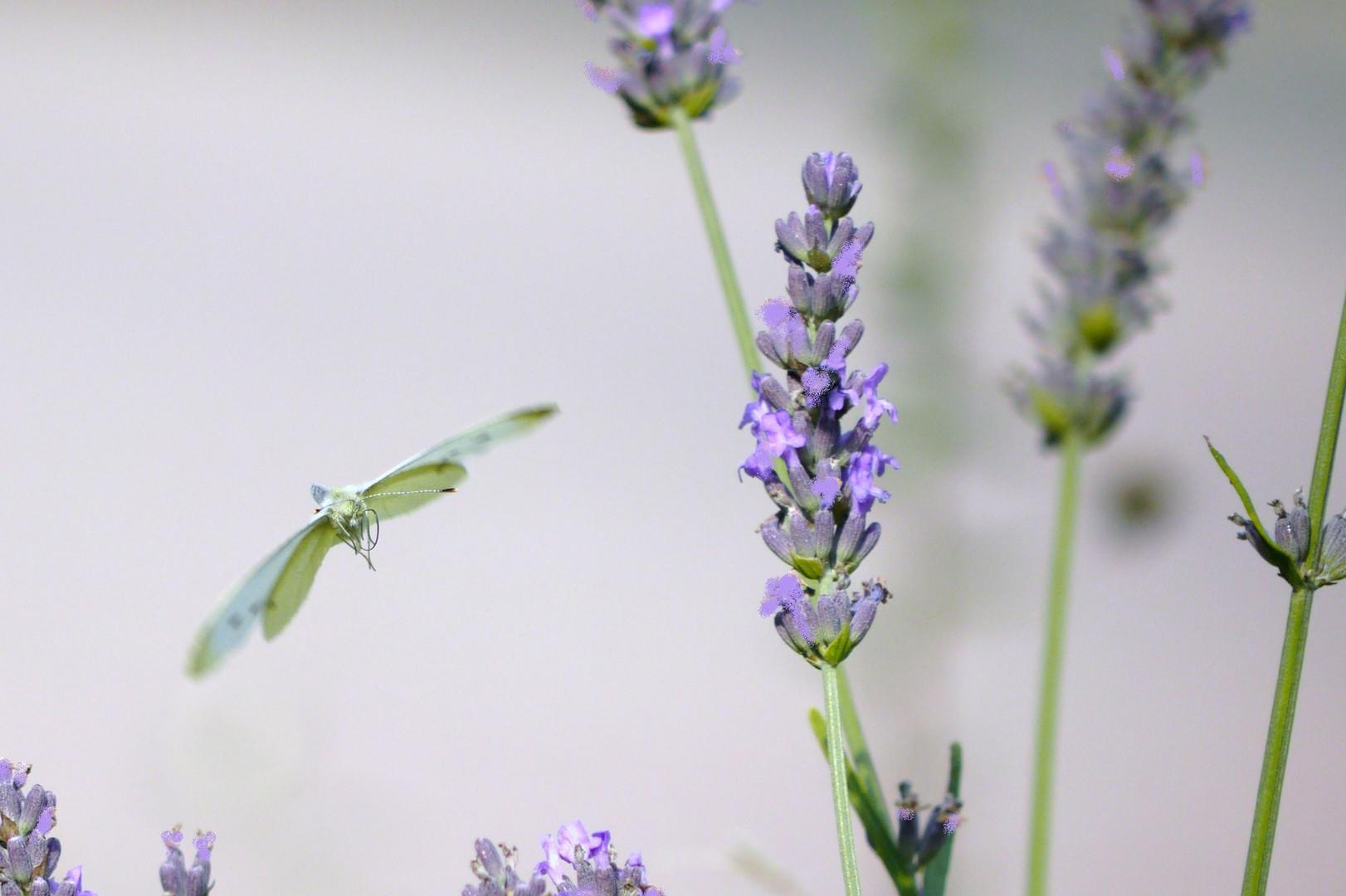 Durch den Lavendel
