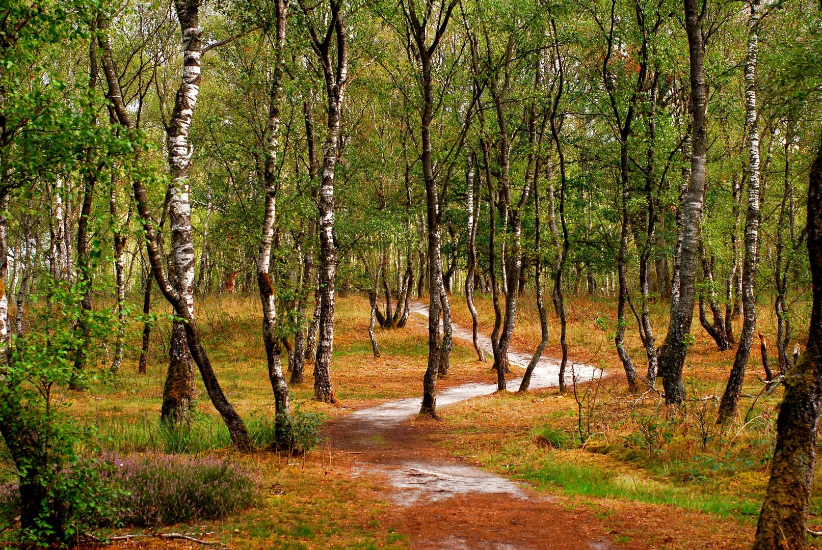 Durch den lichten Birkenwald
