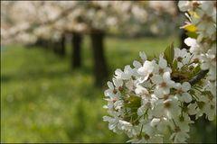 Durch die Kirschblüten