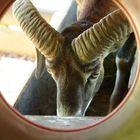 Durchblick mit Mufflon