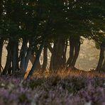Durchblick mit seitlichem Lichteinfall auf der Mehlinger Heide, die...